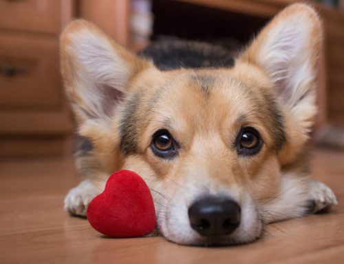 Heart Disease in Pets: Prevention, Recognition, and Treatment